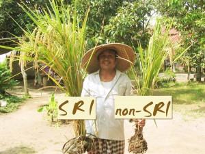 Bauer mit SRI Reispflanze und normal angebauter Reispflanze